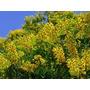 25 Sementes De Pau-brasil Verdadeiro (caesalpinia Echinata)