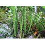Cola De Caballo Equisetum Plantas Acuáticas Para Estanques