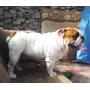 Bulldog En Servicio De Monta Cono Sur Buena Genetica