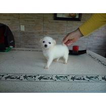Chihuahua B L A N C O Machito Con Pedigree De F C A