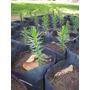 Araucarias Milenaria Pehuen (20 Plantines) Envió Gratis