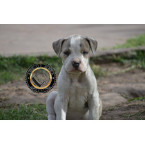 Vendido Pitbull Blue White Macho Criadero Age Of Meka