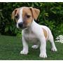 Jack Russel Terrier Patas Cortas Cachorritos Pelo Duro