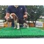 Beagle Con Pedigri Accc - La Granja Cachorros