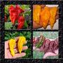 Kit Pimenta Bhut Jolokia Mix 4 Cores - Sementes Para Mudas