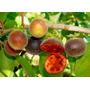 Dovyalis Dulce Arandalo Plantines Injertados Fruct En 1a2año