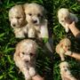 Cachorros Poodles Vacunados Y Desparasitados