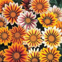 Sementes Da Flor Gazania!