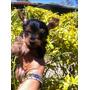 Yorkie Terrier Miniatura Mini Manto Plateado Cachorro Perro