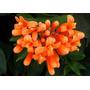Pyrostegia Venusta - Florece En Invierno Cañuelas