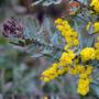 Acacia Baileyana Rubra-purpurea 4 Litros Z/ Mataderos