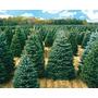 Arboles De Navidad Naturales Canadienses - Ventas Al Mayor