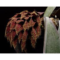 C Orquídea Rara Bulbophyllum Phalaenopsis 73cm 9 Bulbos 6487