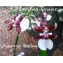 Orquideas Oncidium Sharry Baby.