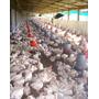 Pollos Bb , Pollitas Ponedoras , Pollitos Broiler ,avícola