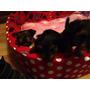 Yorkshire Terrier Cachorros Machos Economicos