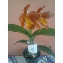 Só Orquideas= Kit C/ 5 Mudas Adultas Cattleya