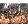 Vendo Cachorritos Rottweilers Mar Del Plata!!!!