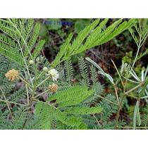 1 Libra Semillas Leucaena Leucocephala - Arbol Del Guaje