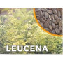 Leucena Leguminosa 100 Sementes Mais Brinde