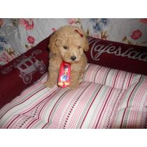 Macho De Poodle Micro Toy