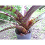 Bromelia - Neoregelia Hannibal Lector - Planta De Colección