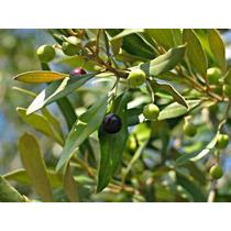 Muda De Oliveira De Estaquia ( Olea Europaea ) + Brinde