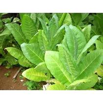 200 Semillas De Tabaco - Nicotiana Tabacum Para Plantas