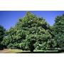 Plantas De Magnolia Grandiflora.