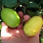 Mudas De Limão Galego Comprido Ou Galegão