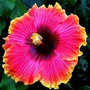 18 Sementes Hibiscus Hibisco/isis 6 Cores Mix De Flores