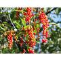 30 Mudas De Tucaneiro No Tubete - Arvore Frutifera Nativa