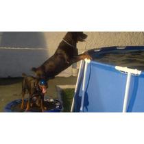 Macho Rottweiler Para Servicio Reproductor 3 Años Exelente!!