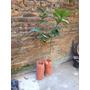 Limon Dunkan 4 Estaciones 70 Cm A 1m Ya Florecio.frutales