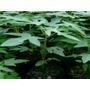 Plantulas De Lechosa Maradol Tipo Cubana Certificadas