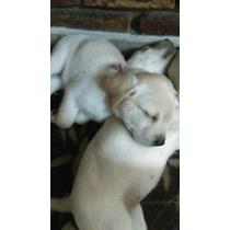 Cachorros De Labrador Hermososss