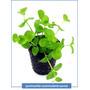 Lysimachia Nummularia Planta Acuatica Peces