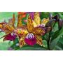 Orquídea Adulta Pot. Pradit Of Spot X Lc. My Friend Kirihara