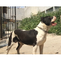 Macho American Staffordshire Terrier Para Montas.