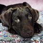 Filhote Labrador Marrom Chocolate E Preto Recém Nascidos