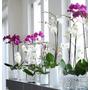 Orquideas Phalaenopsis En Flor Día De La Primavera