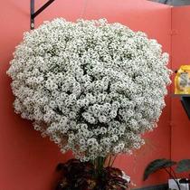 Sementes Alyssum Branca Snow Princess Flor De Mel Lobularia
