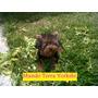 Cachorro Yorkshire Terrier Tea Cup Macho 5 Meses