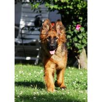 Cachorras De Ovejero Aleman Pelo Largo (poa)