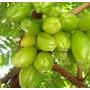 Muda Grande Da Fruta Exótica E Rara Biri Biri, Bilimbi