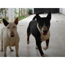 Filhote De Bull Terrier Legitimo Sem Pedigree Macho