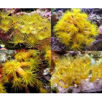 Mudas Coral Marinho Yellow Polips - R$4,00 O Pólipo (min.5)
