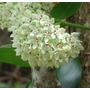 Hoya Carnosa Hoya Australis Flor De Cera Planta Grande