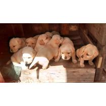 Cachorros Labrador Retriever Dorados