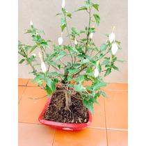 Bonsai Tulipán Monaguillo, Florea Todo El Año